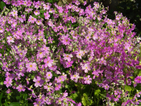 primula_malacoides-pink-2014.jpg