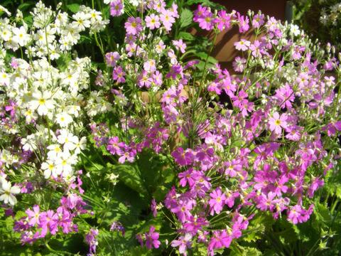 primula_malacoides-pink&white-2014.jpg